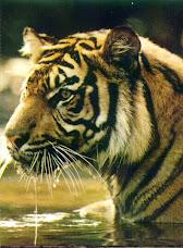 Harimau Sumatera (Pantera thigris sumatrae)