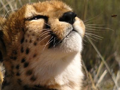 http://1.bp.blogspot.com/_gIHmqEcf2sY/Susr67KQIWI/AAAAAAAAA_k/9exCHge-zLs/s400/Forbes_cheetah1.jpg
