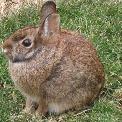 [eastern-cottontail.jpg]