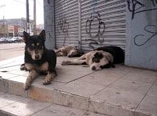 Perros Vagos en Chile