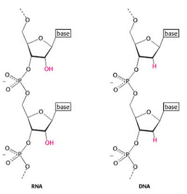 Why is DNA (and not RNA) a stable storage form for genetic