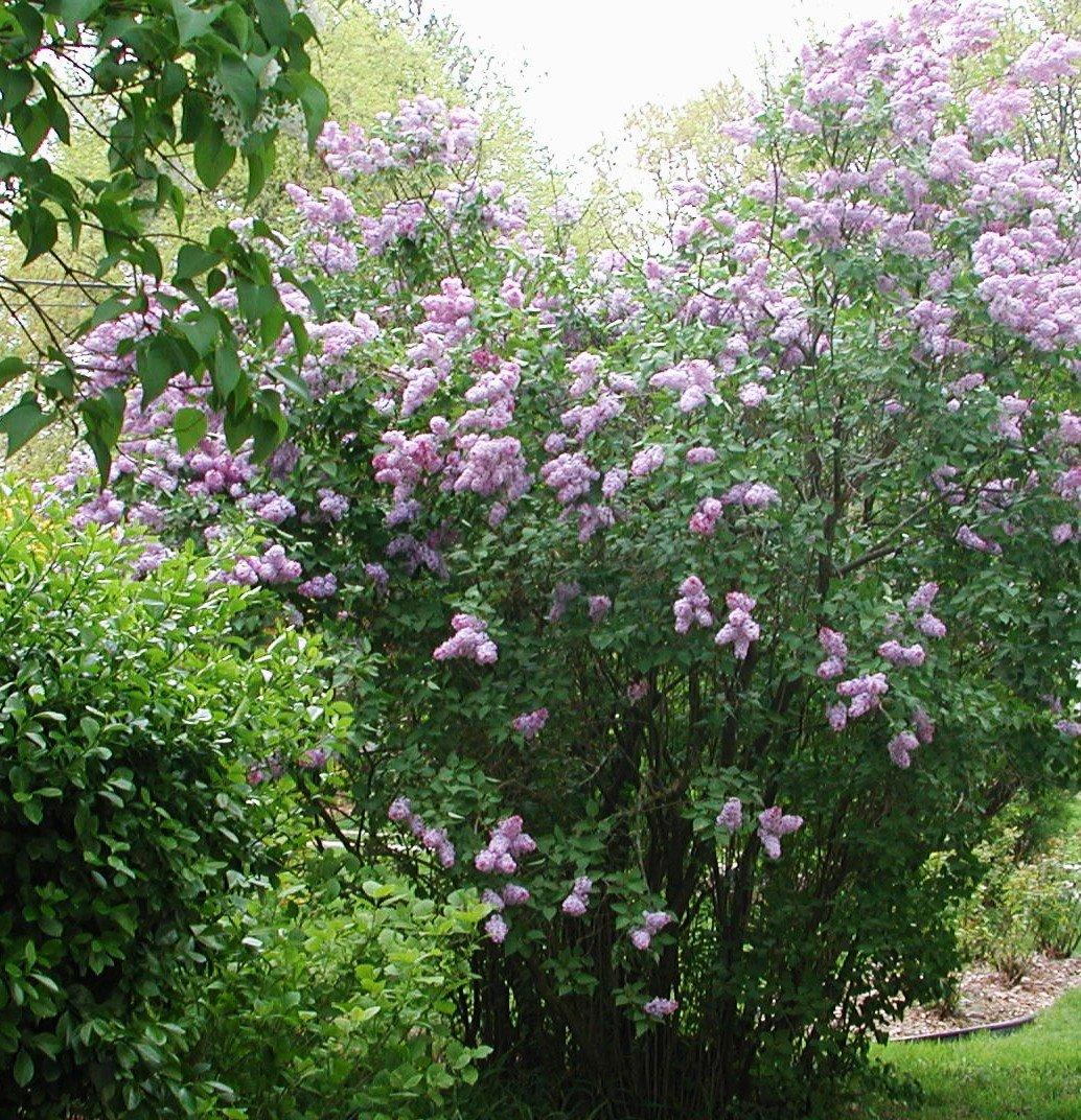 [Lilacs.jpg]