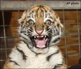 baby tiger surprised face