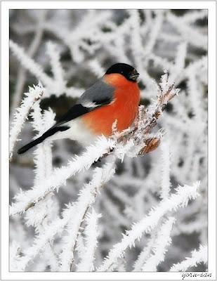 Снегирь.  На Арбате, в магазине.  Снегири в саду свистят.  Я одну такую птицу.