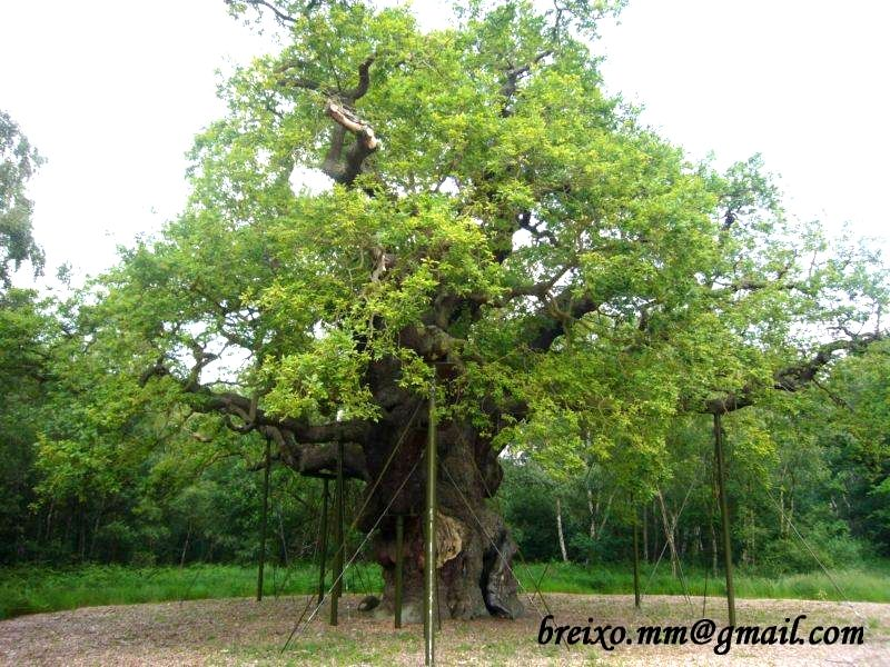 Major Oak - Breixo