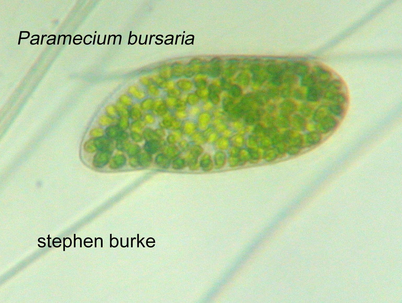 paramecium bursaria and algae relationship trust