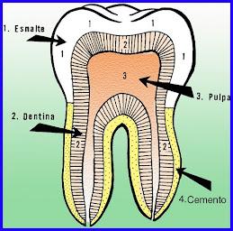 Parte de los dientes