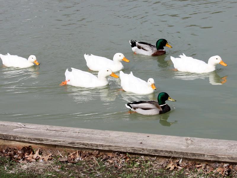 on sale 6568b ccf27 CARLETTA'S CAPTURES: Seven Ducks A-swimming....