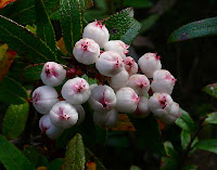 Snow Berry fruit, Gaultheria hispida, Mt Wellington - 2nd March 2008