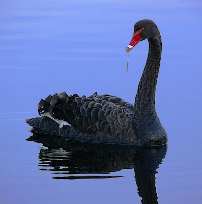 Black Swan, Franklin