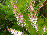 Erica lusitanica, Spanish Heath, Arve Rd, Southern Tasmania - 17th July 2008