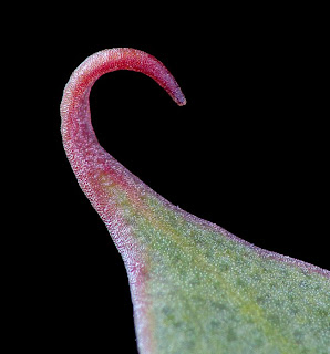 Hooked tip of the leaf of Eucalyptus coccifera