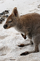 Bennets Wallaby, Wineglass Bay - 19th September 2009