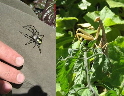 photo of a spider, photo of a praying mantis