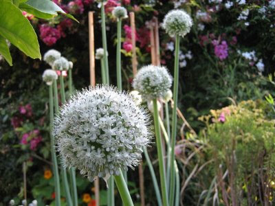 photo of onion flowers