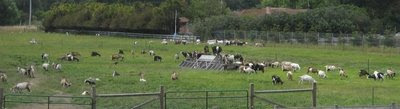 Photo of goats at Harley Farms, Pescadero