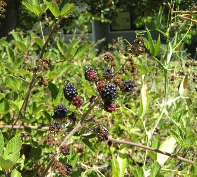 Photo of thornless blackberry at Luther Burbank's farm in Sebastapol, California