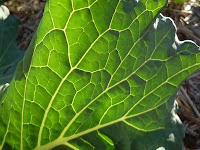 photo of savoy cabbage leaf from the martinhoward flickr collection