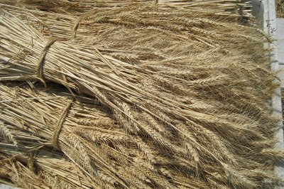 Photo of wheat stalks at Eatwell Farm, California