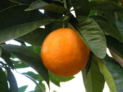 Orange Fruit - Vitamin C in the News