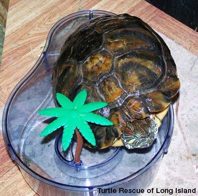 Red neck slider turtles diet zoe 39 s dish for Vaschette tartarughe