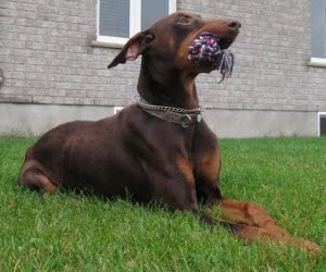 Dogs Deserve Freedom Featured Rescue Big Red The Doberman Pinscher