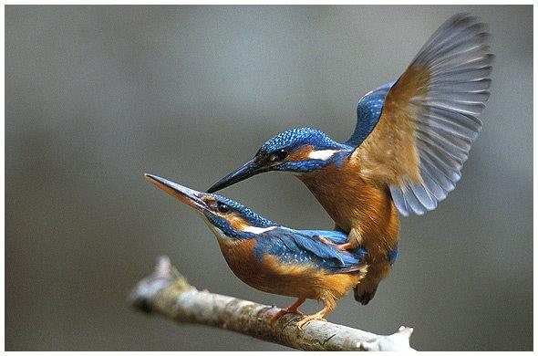 [kingfishercopulation.jpg]