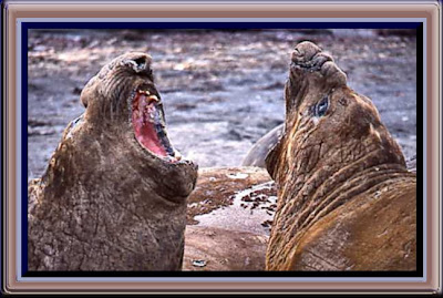Mouth-Off between male Elephant Seals.
