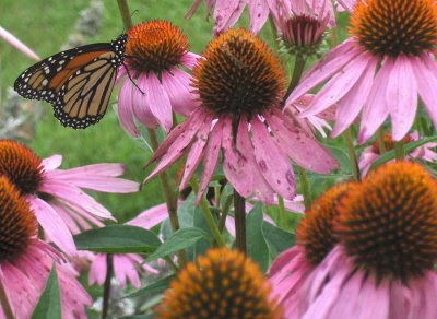 Photo of cone flowers and a butterfly in Pat's flower garden.