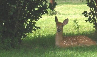 Photo of fawn resting in Pat and Keith's yard.