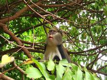 Monkey in Ghana '06