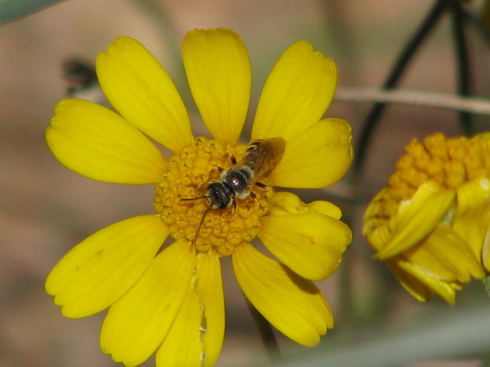 Plano Prairie Garden: Bees on the Prairie