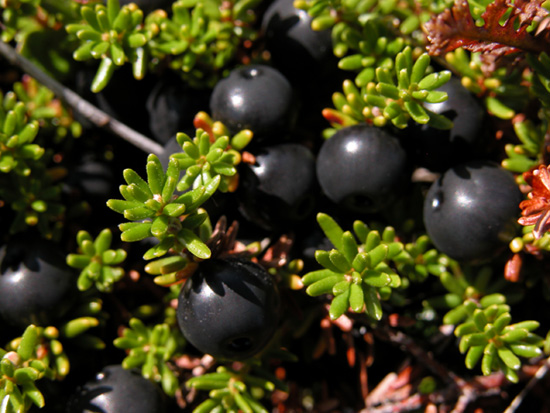 Unik Boss  17 Jenis Buah Berry c282d6e36f