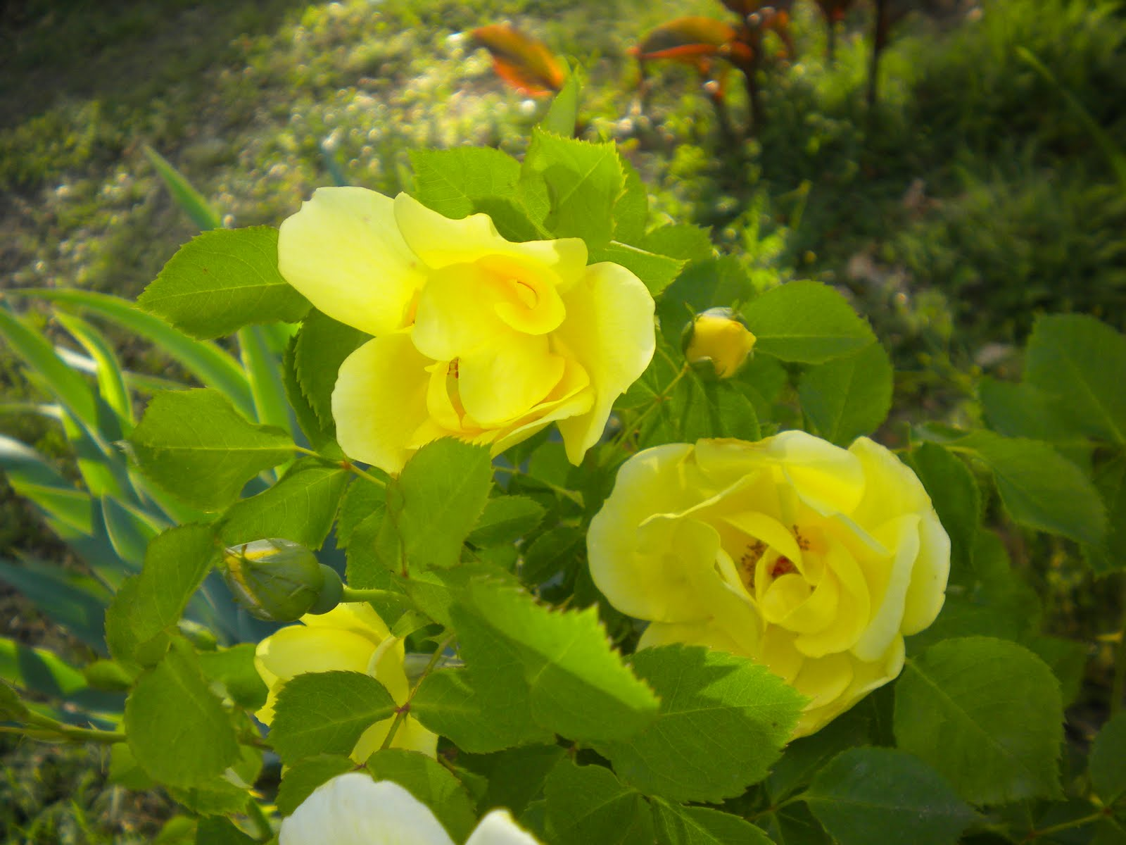 W O Bearden Southern Shade Nursery Yellow Knockout Rose
