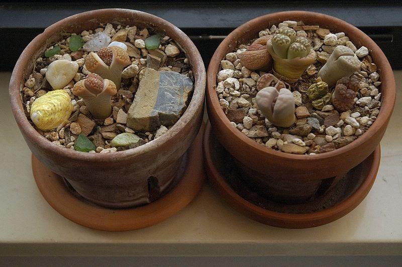 Lithop Argyroderma Living Stone Plant