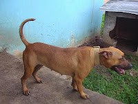 The Home of Belizean Boys Kennels