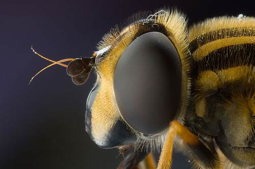 European hoverfly in profile Macro Photography