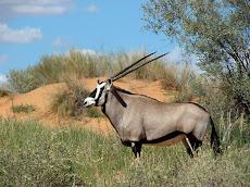 Gemsbok, famous antelope of the Kalahari
