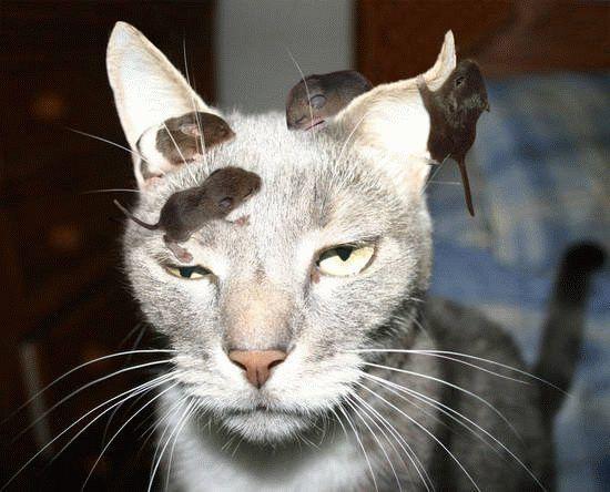 chat envahi par les souris