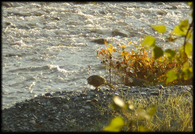 couple de perdrix au bord de l'eau