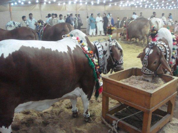 Best Bulls Of Bakra Eid: DILPASAND CATTLEQurbani Cow 2009