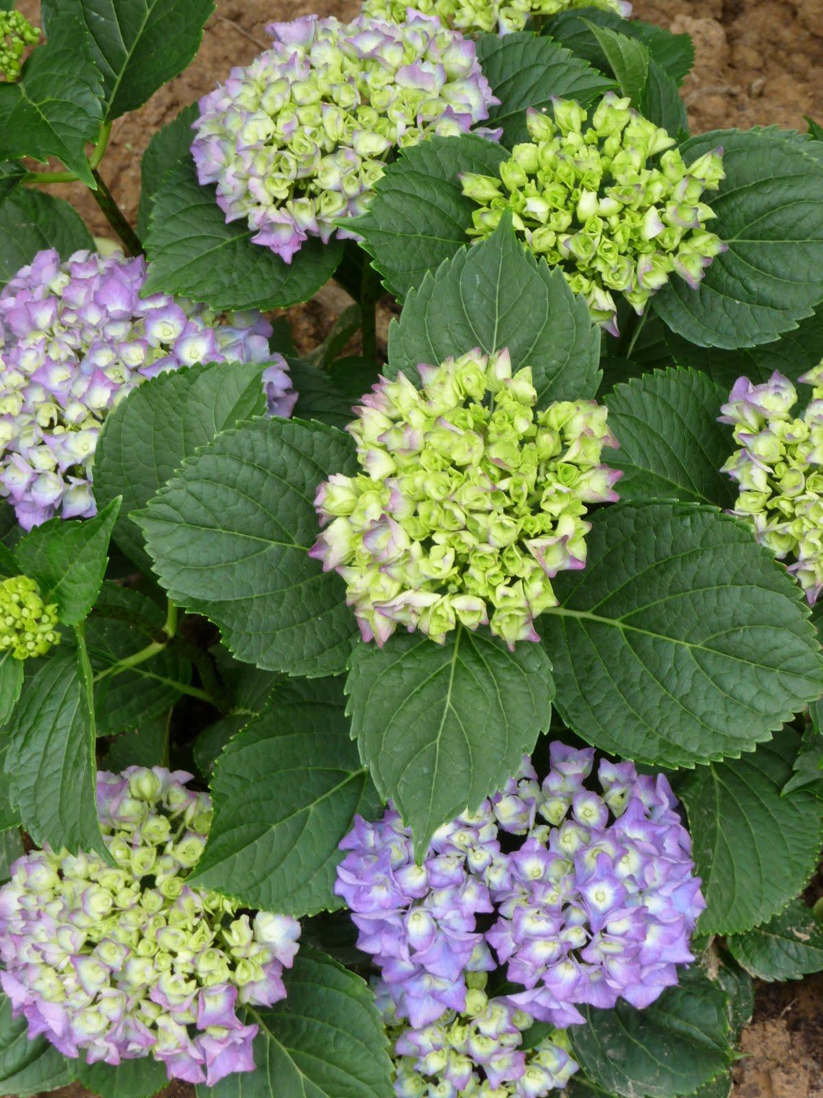 Ma terre de bruy re continuons la balade autour de la - Terre pour hortensia bleu ...
