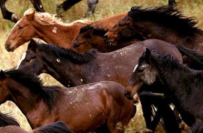 Caballos en manada