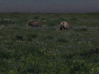 2 grizzley's in field