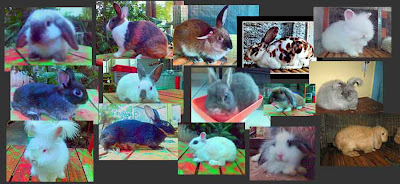 kelinci ras