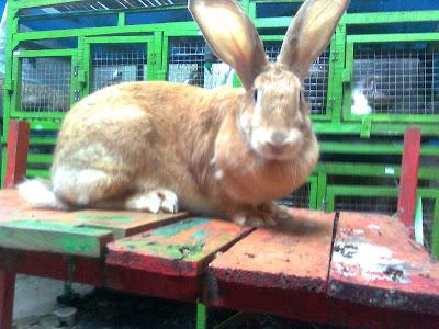 flemish giant kelinci