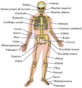 Sistemas Y Aparatos Del Cuerpo Humano Sistema Muscular Y