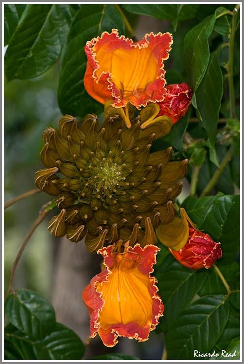 Amapola Blooming