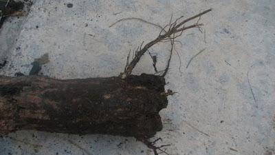 erythrina variegata roots garapan