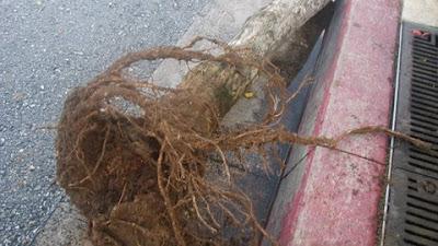 erythrina variegata roots saipan